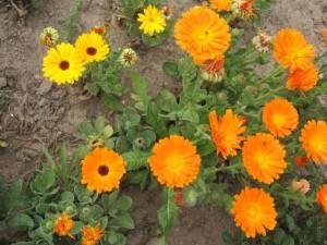 Aynısafa Çiçeği