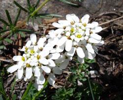 İberide Çiçeği