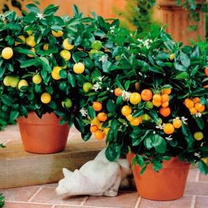 Portakal Bitkisi