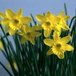 Saksıda Nergis Çiçeği