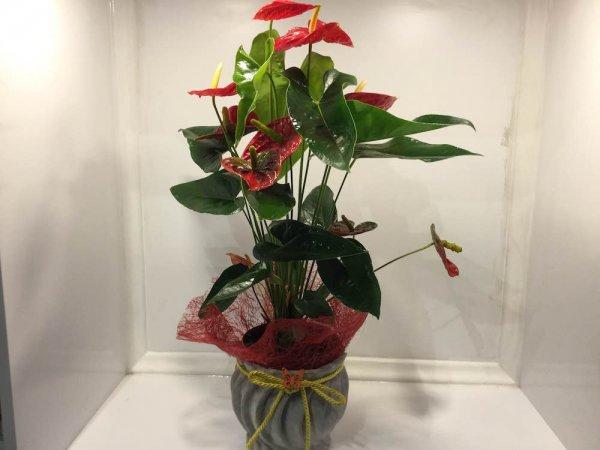 antoryum-cicegi-salon-bitkileri