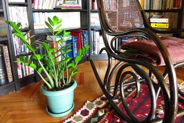 zambia-bitkisi-salon-bitkileri